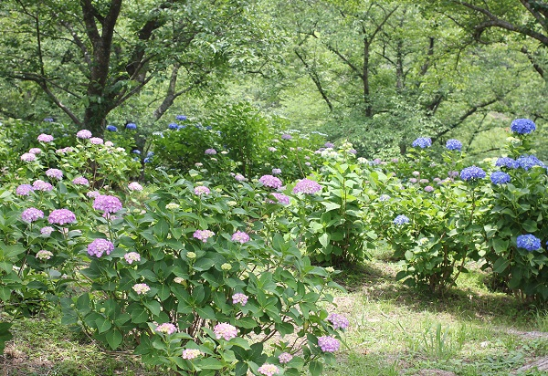 くじゃく園の山の中のピンクや青の紫陽花の写真