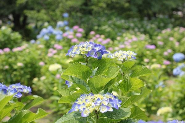 大崎公園の紫陽花の写真