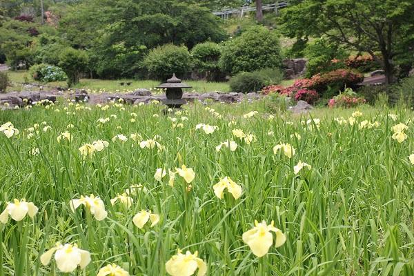 くじゃく園の黄色い菖蒲園の写真