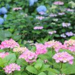 色とりどりの紫陽花の写真