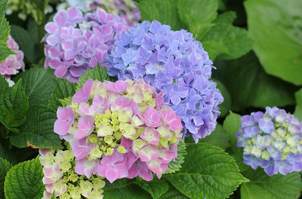 西洋紫陽花の写真