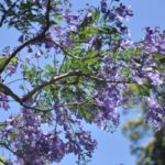 ジャガランダの花の写真