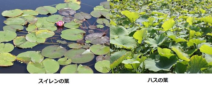 水生公園で見たスイレンの葉の写真とハスの葉の写真