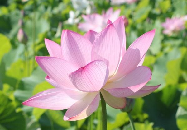 石仏公園の美しく咲いたハスの花の写真