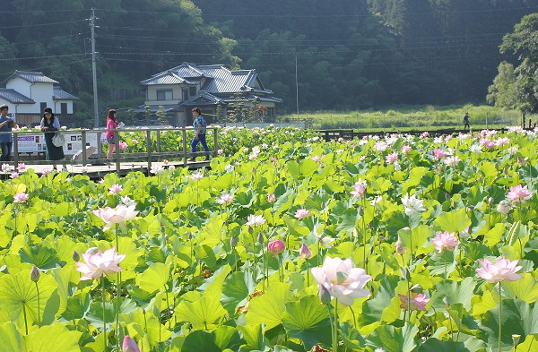 臼杵石仏公園のハス園の様子、遊歩道やハスがたくさん咲いてる様子の写真