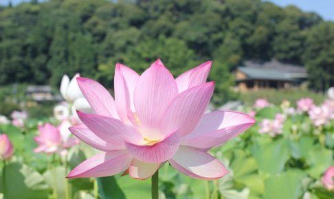 石仏公園のハスの写真