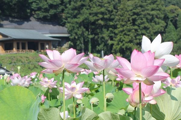 鞘堂を背景として咲き誇るハスの花の写真