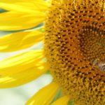 ひまわりとミツバチの写真