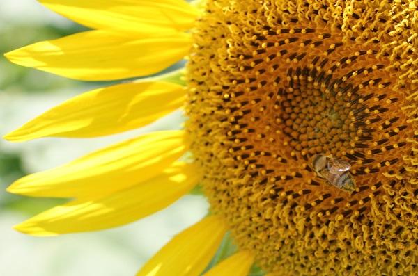 ヒマワリとミツバチのアップ写真