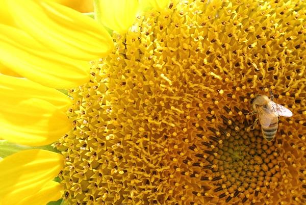 ヒマワリとハチの超アップの写真