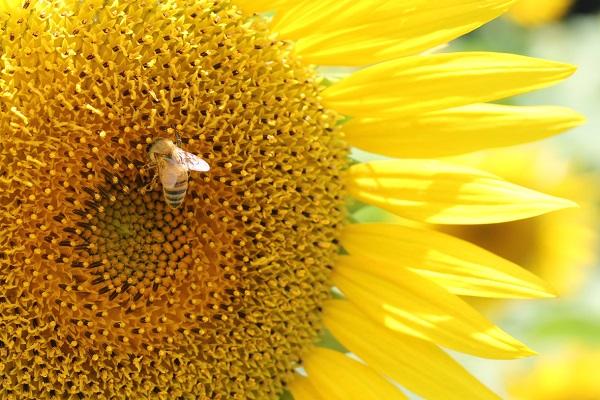 ひまわりとハチのアップ写真