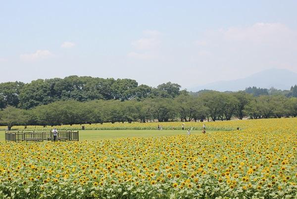 鬼の窟古墳周辺のヒマワリ畑の写真