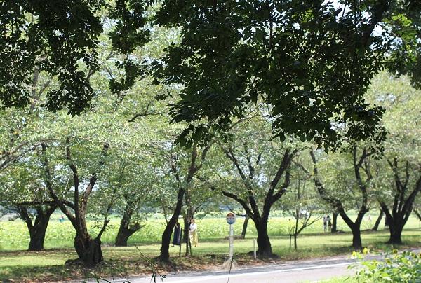 新緑の桜並木の写真