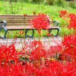 彼岸花とベンチの写真