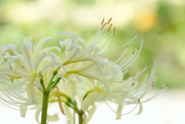 白の彼岸花の写真