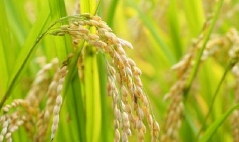 収穫の稲の写真
