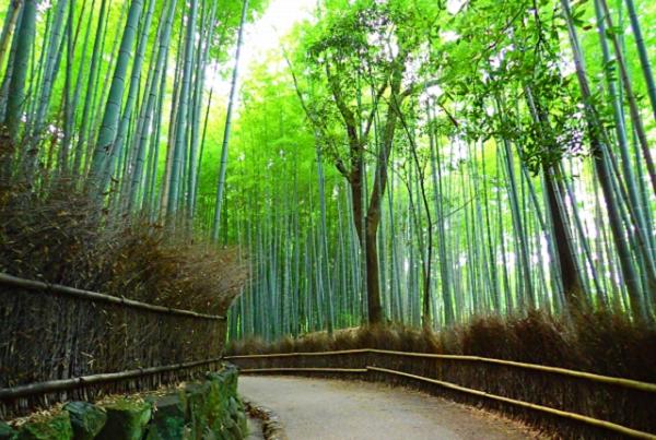 京都嵐山 竹林の写真
