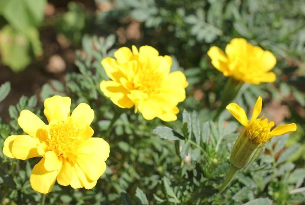黄色のマリーゴールドの写真