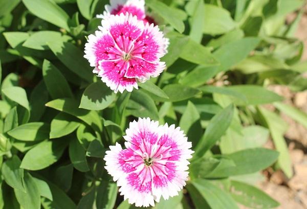濃いピンクと白のナデシコの写真