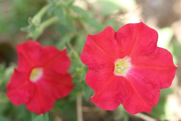 赤いペチュニアの写真