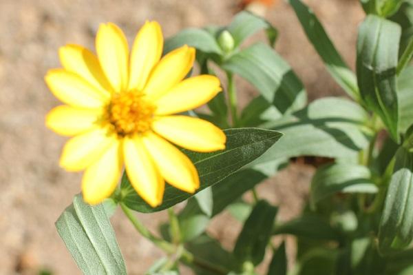 黄色のジニアの写真
