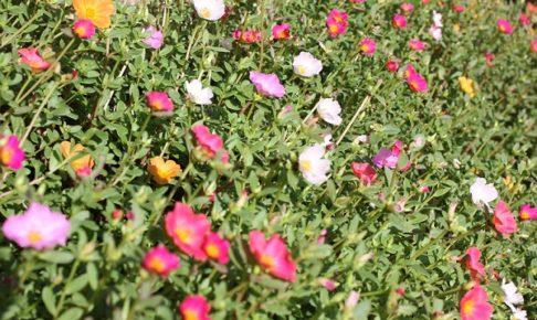 花壇のポーチュラカの写真
