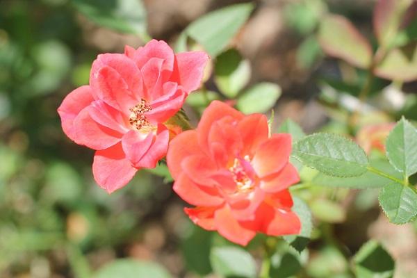 赤とオレンジのミニバラの写真