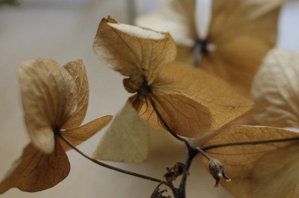 ドライフラワーになって茶色い変色した紫陽花の写真