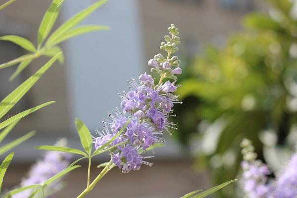 庭に咲いてるセイヨウニンジンボクの花の写真