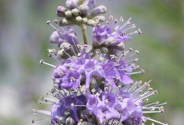 セイヨウニンジンボクの花のアップ写真 雌しべや雄しべの様子