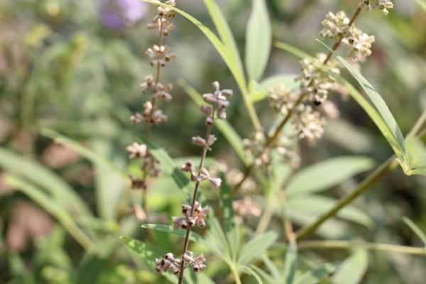 セイヨウニンジンボクの花が枯れて種になった様子の写真