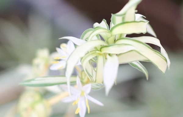 オリズルランの花の写真