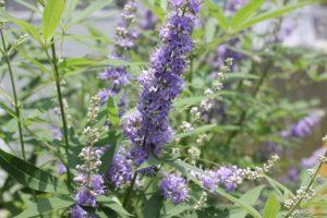 大きく育ったセイヨウニンジンボクに薄紫のきれいな花が咲いた様子の写真