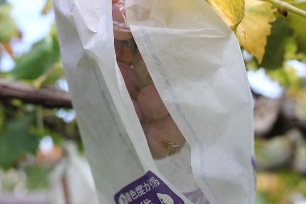 ブドウ園になってるピオーネの写真