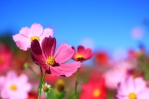 秋桜と青空の写真