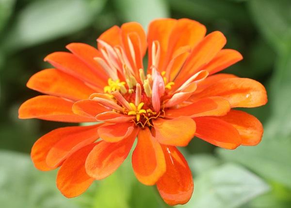 百日花のアップ写真
