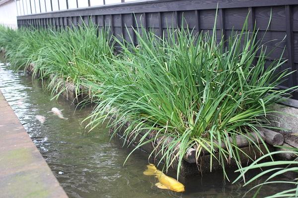 掘割と鯉の写真