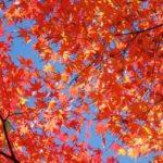 モミジの紅葉と青空の写真