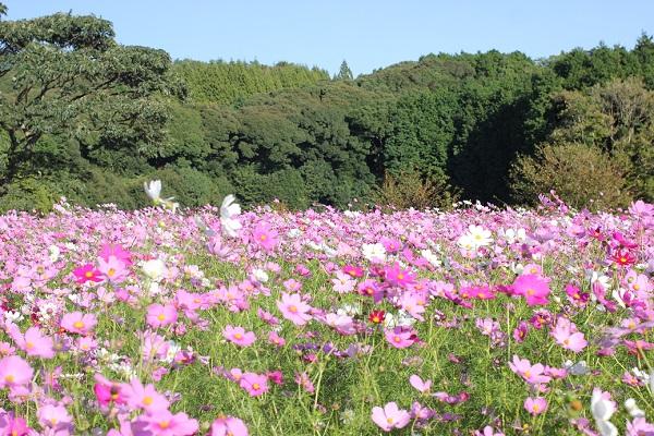 山が背景、大又農園のコスモス畑の写真