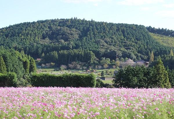 野岳湖を見渡せるコスモス畑の写真