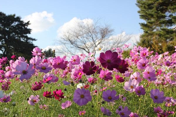 白い雲、青い空とピンクのコスモスの写真