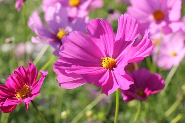 綺麗なピンクのコスモス、アップ写真
