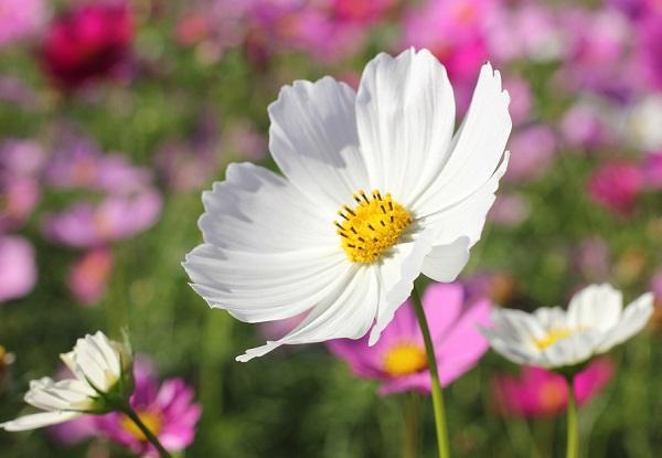 綺麗な白いコスモスの写真