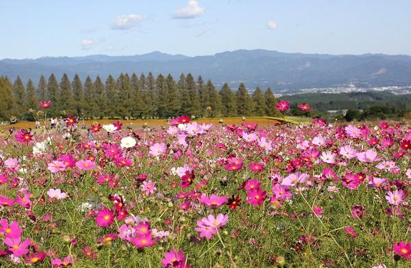 生駒高原のコスモス畑の風景写真