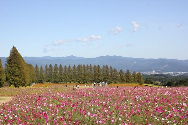 九州中央山地を背景にしたコスモス畑の写真
