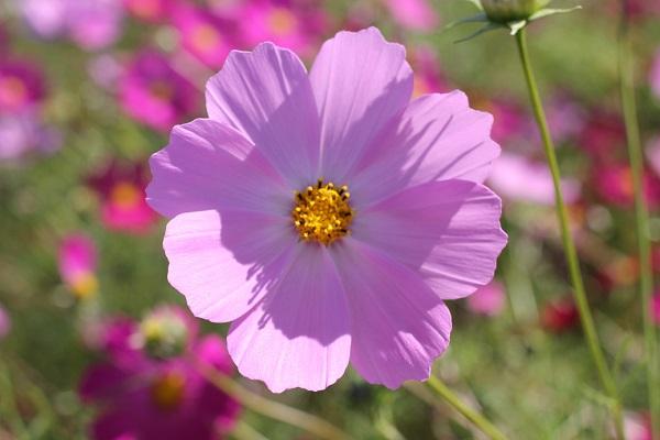 綺麗なピンクのコスモスの写真