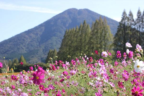 生駒富士とコスモスのコラボ写真