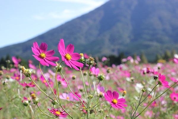 生駒高原のコスモス畑の写真
