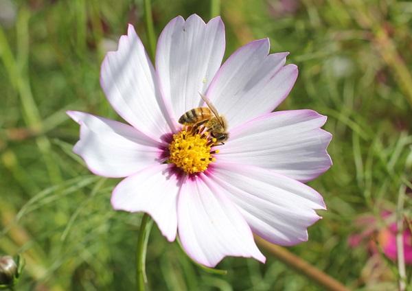 白にピンクの縁のコスモスとミツバチの写真