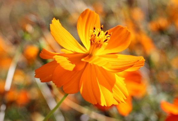 キバナコスモス、オレンジの写真